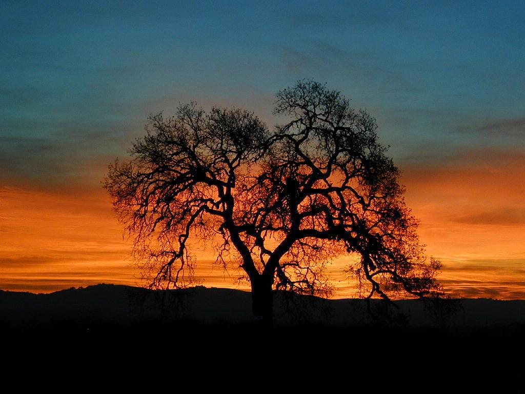 Templeton Tree 1