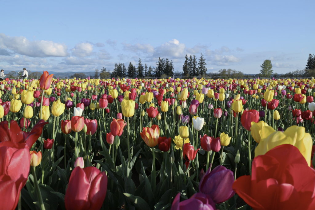 Tulips Photo 1