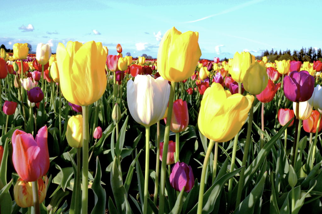 Tulips Photo 3